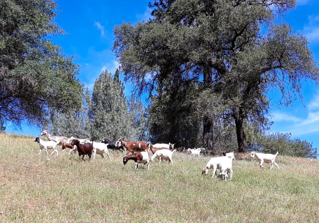 a tribe of goats standing on a hill with blue sky and pine trees
