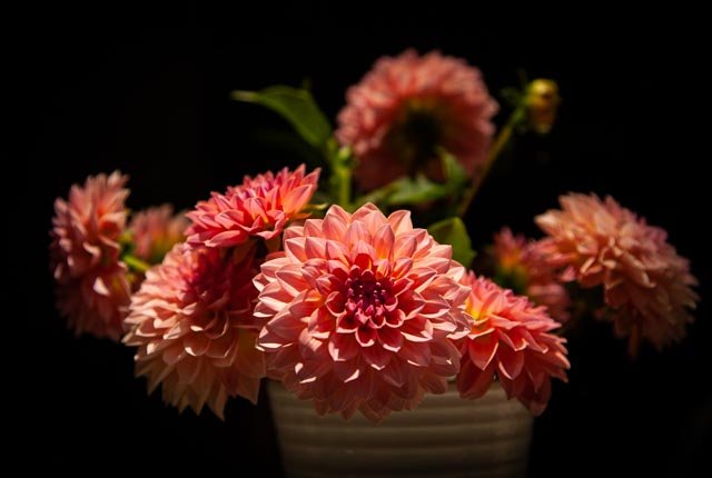 a collection of 3 pink and yellow dahlia flowers against a reflective, black background