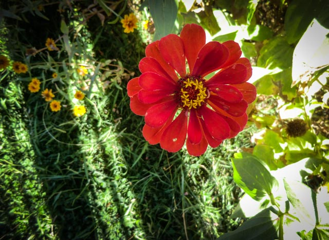 A red zinnia flower in bloom