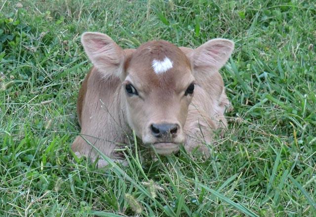 A little baby calf in green grass