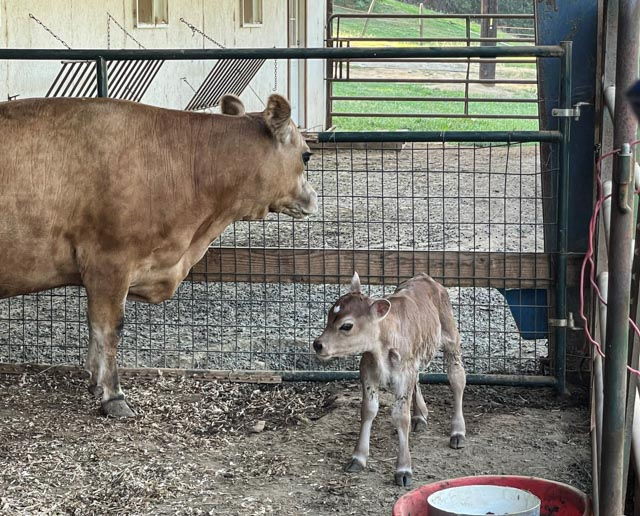 a cow and a calf looking around