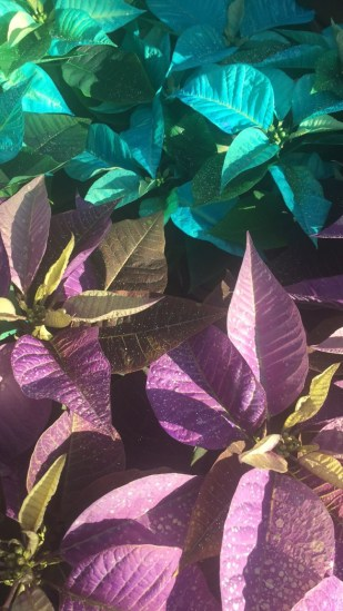 2BD - Georges_Poinsettias - teal putple