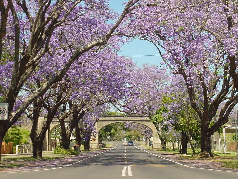 Grafton  also known as the Jacaranda city  Our Travels