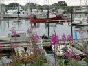 Fishing boats and fireweed in Sitka