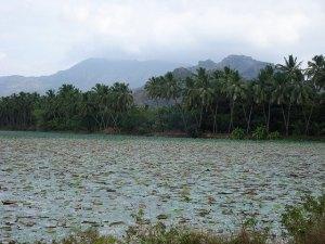 a lake and coconut trees in Kanyakumari