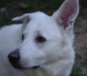 Yuki our White Shepherd
