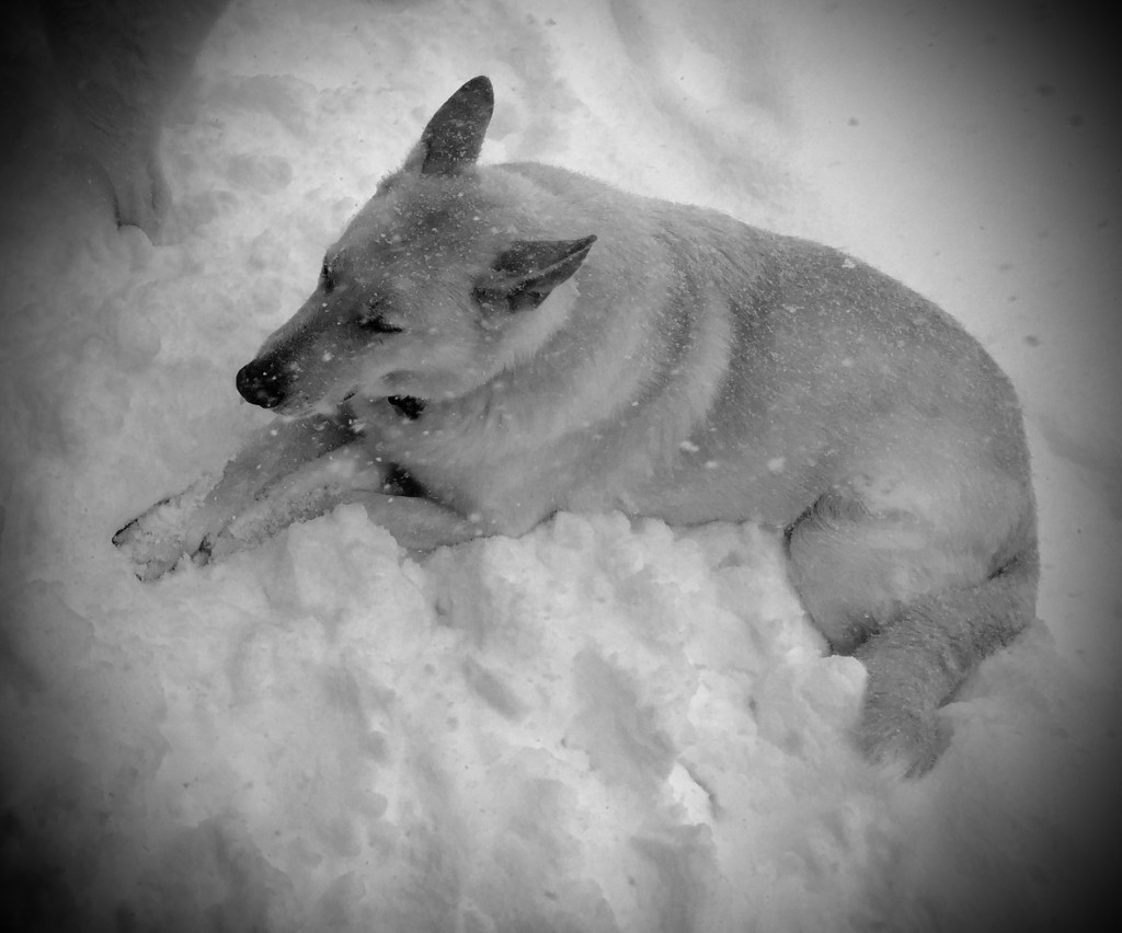Pecos doesn't like the harsh winter or snow higher than himself so he just lies down and waits for it all to go away.
