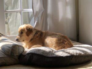 Dandy lying on dog bed in sun