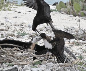 6-3-Grt-Frigatebird-Steal