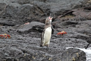 Galapagos penguin and Sally Lightfoot crabs