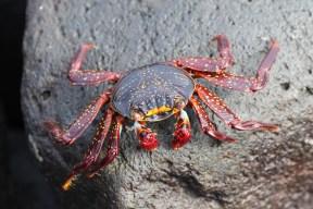 Young Sally Lightfoot Crab