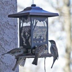 Sparrows-aplenty