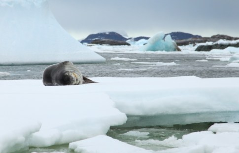 The beautiful but dangerous leopard seal. Thankfully taking a rest.
