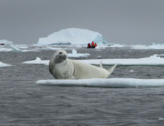 A creabeater seal strikes a pose for us as he lifts his head from the water.