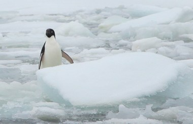 An Adelie penguin stares and tries to figure us out as we pass by.