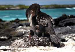 Photo of the Day: A Family of Galapagos Flightless Cormorants