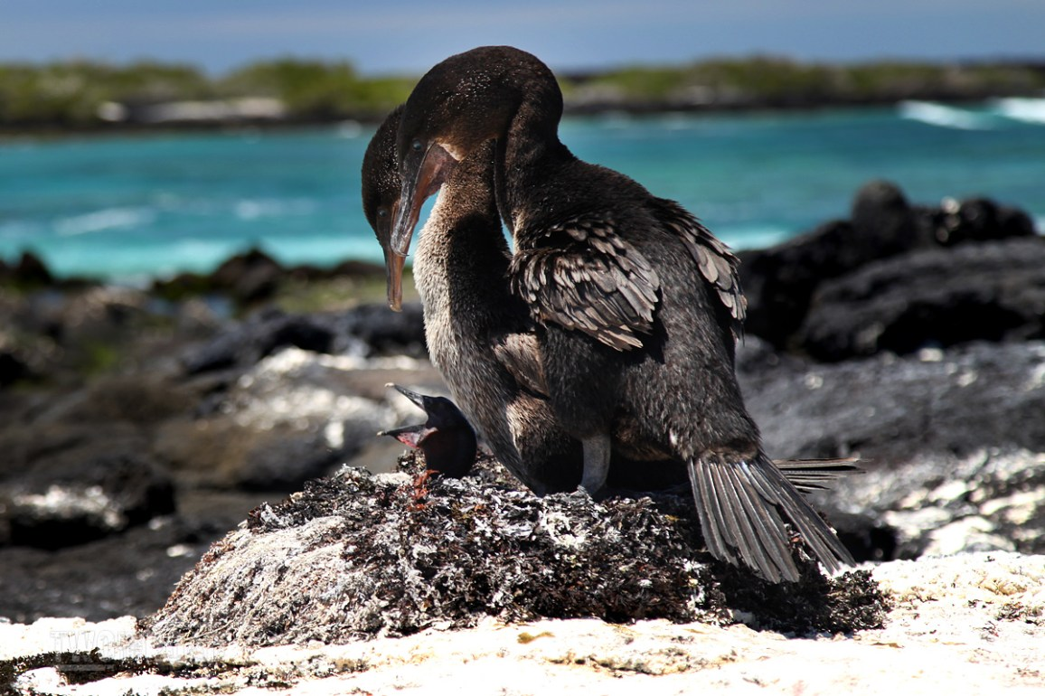 Two for the Road Photo of the Day: A Family of Flightless Cormorants