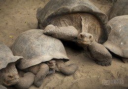 Photo of the Day: A Galapagos Giant Tortoise On the Move