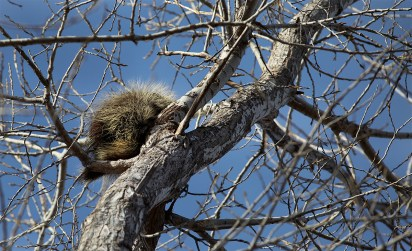 Yes! That's a porcupine! You'll find them up in trees this time of year, chowing down on the bark.
