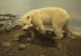 A polar bear hunting a seal. Exhibit in the museum in Pangnirtung.