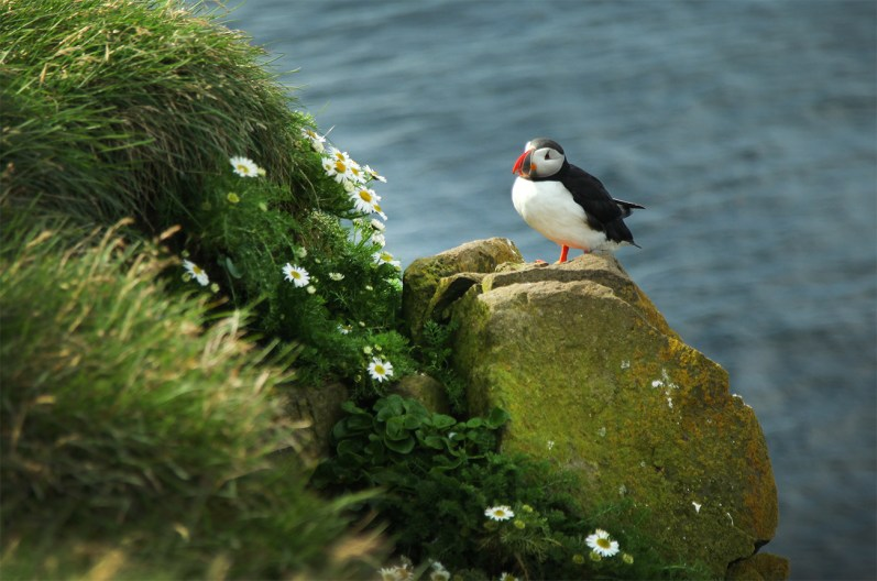 First time to see puffins in the wild! And they are the absolute coolest litte birds.