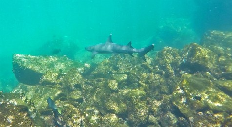 ...and, yes, SHARKS! It's always such a rush to swim alongside these guys. These white tipped reef sharks are pretty common in these waters.