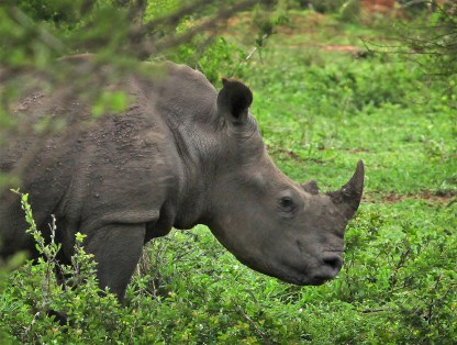 Had a couple of close encounters with the beautiful and CRITICALLY ENDANGERED black rhinos!
