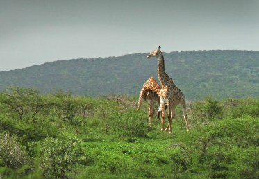 Saw a couple of male giraffes fighting! Which they do by literally swinging their necks/heads at one another.