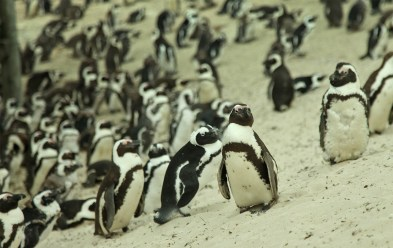 The Boulders colony is home to about 3,000 African penguins...