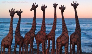 Giraffes by the sea, East London, South Africa