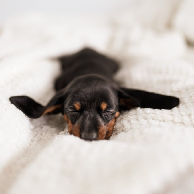 little dachshund puppy sleeping on cozy sofa