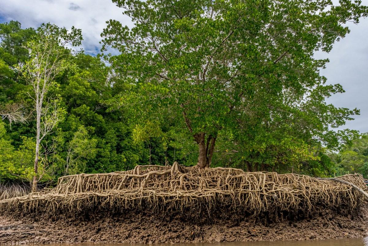 mangrovetræ rødder