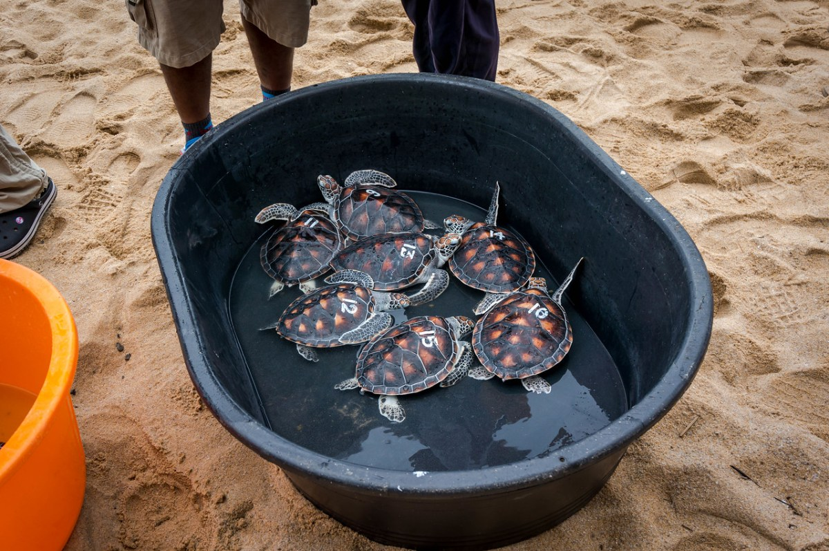 balje med skildpadder