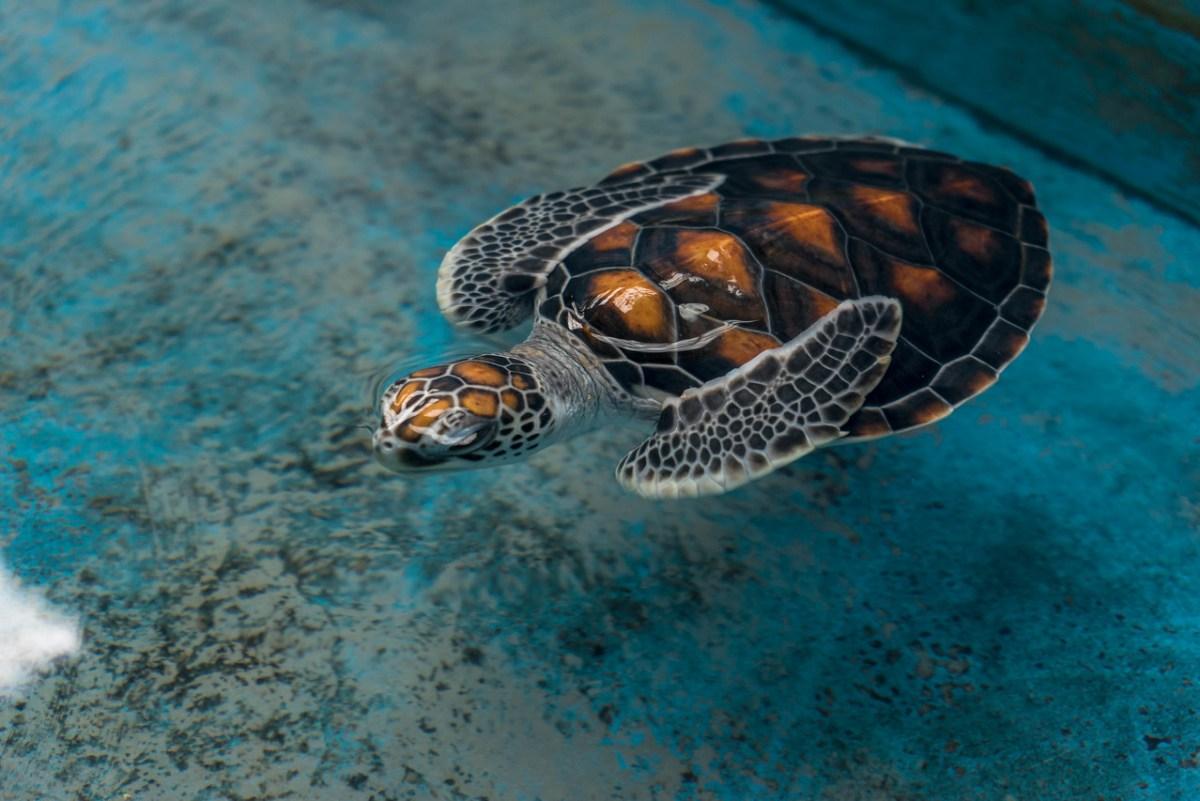 babyskildpadde