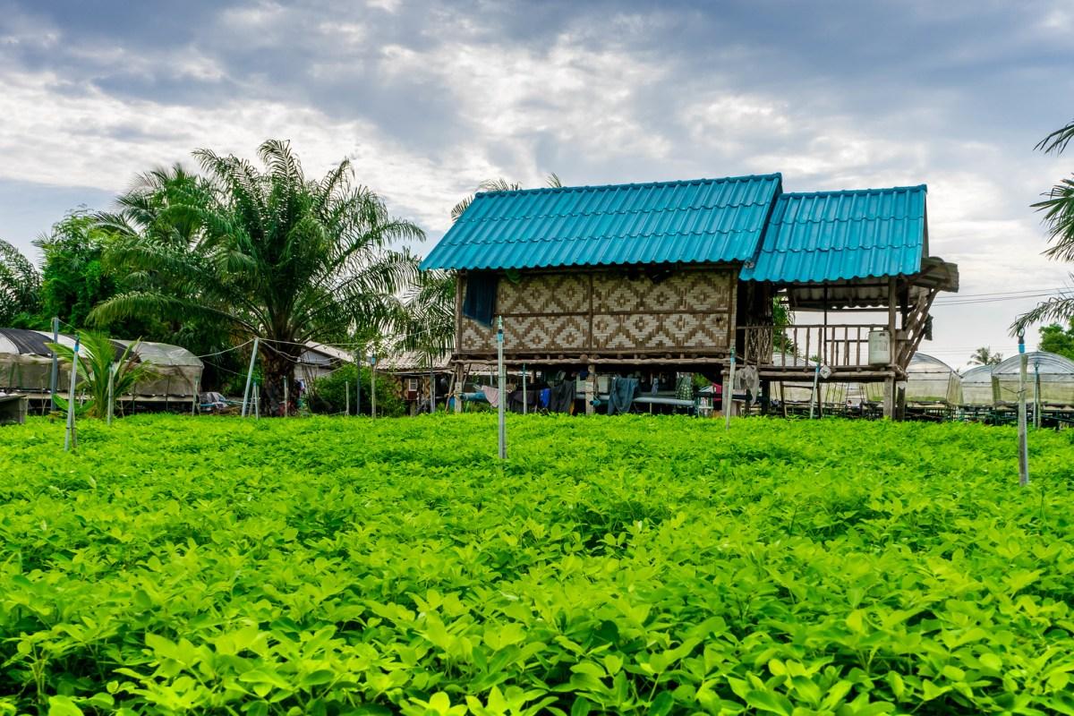thailandsk jordnøddefarm