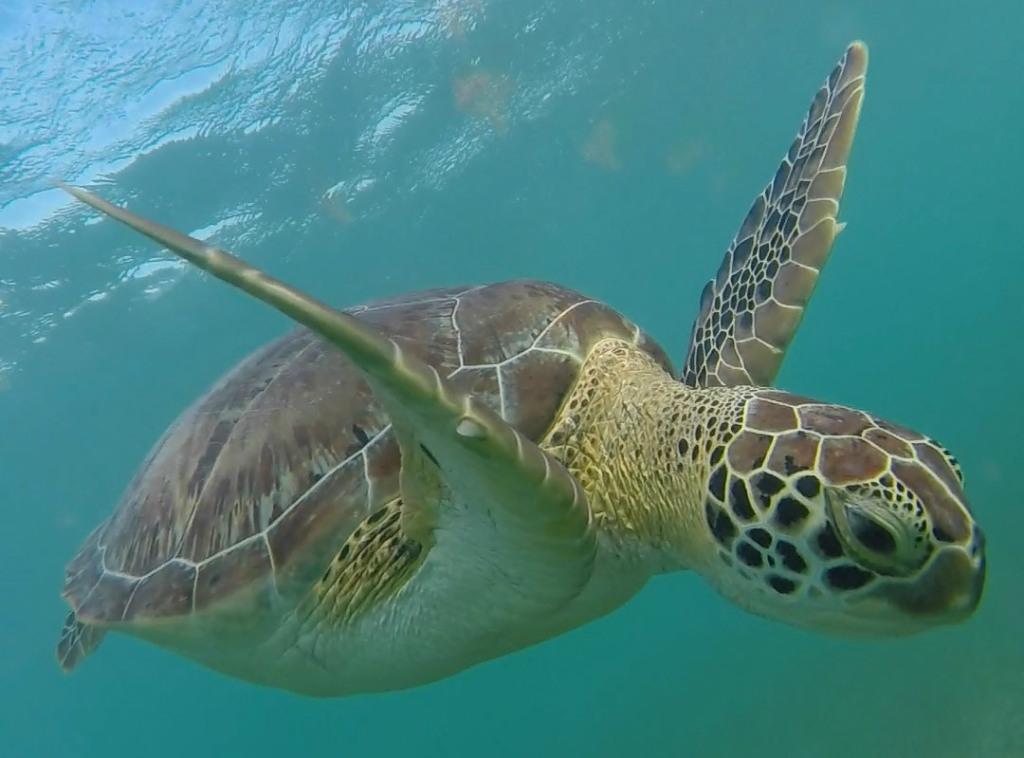 havskildpadde fedeste dyr
