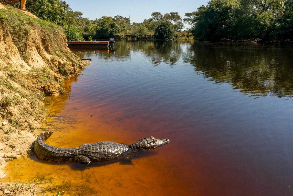 kaiman i pantanal