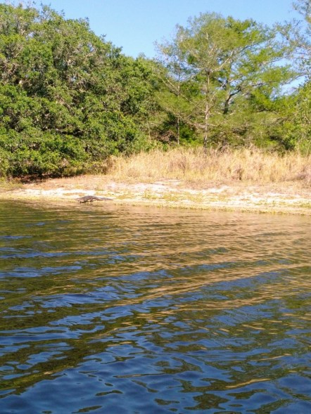 A gator off in the distance sliding into the water for a visit.