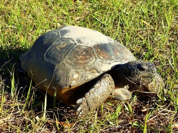 One eyed Gopher tortoise had his eye on us.
