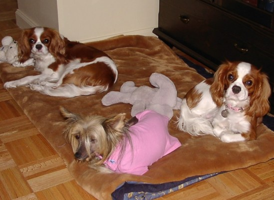 Cavalier King Charles Spaniels and a Chinese Crested