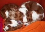Sleeping Cavalier King Charles Spaniels
