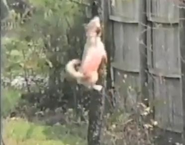Dog Climbs Tree Like Squirrel