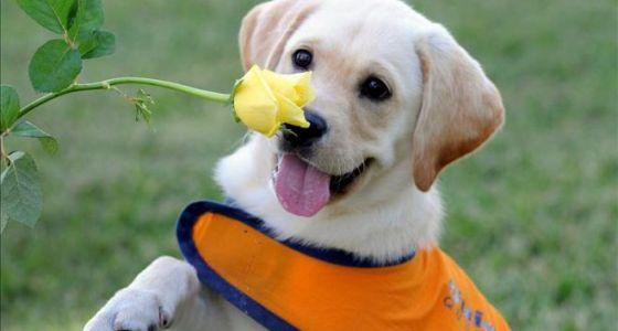 Xena Lab Puppy service dog in training
