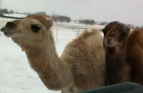 Camels play in the snow