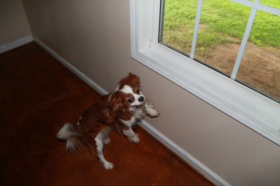 Cavalier King Charles Spaniel Jumping up to see out the window