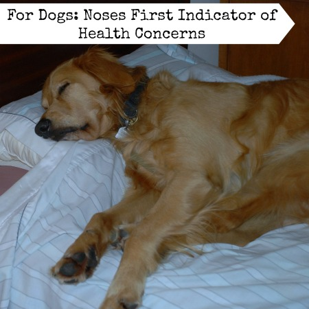 For Dogs Noses First Indicator of Health Concerns