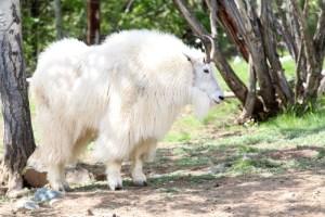 Alaska Animals Dall Sheep
