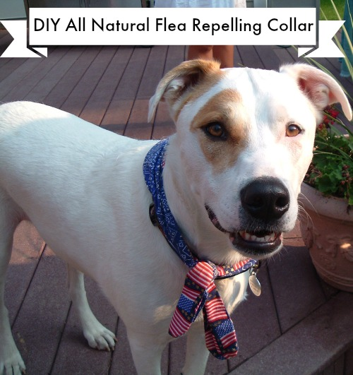 DIY All Natural Flea Repelling Collar