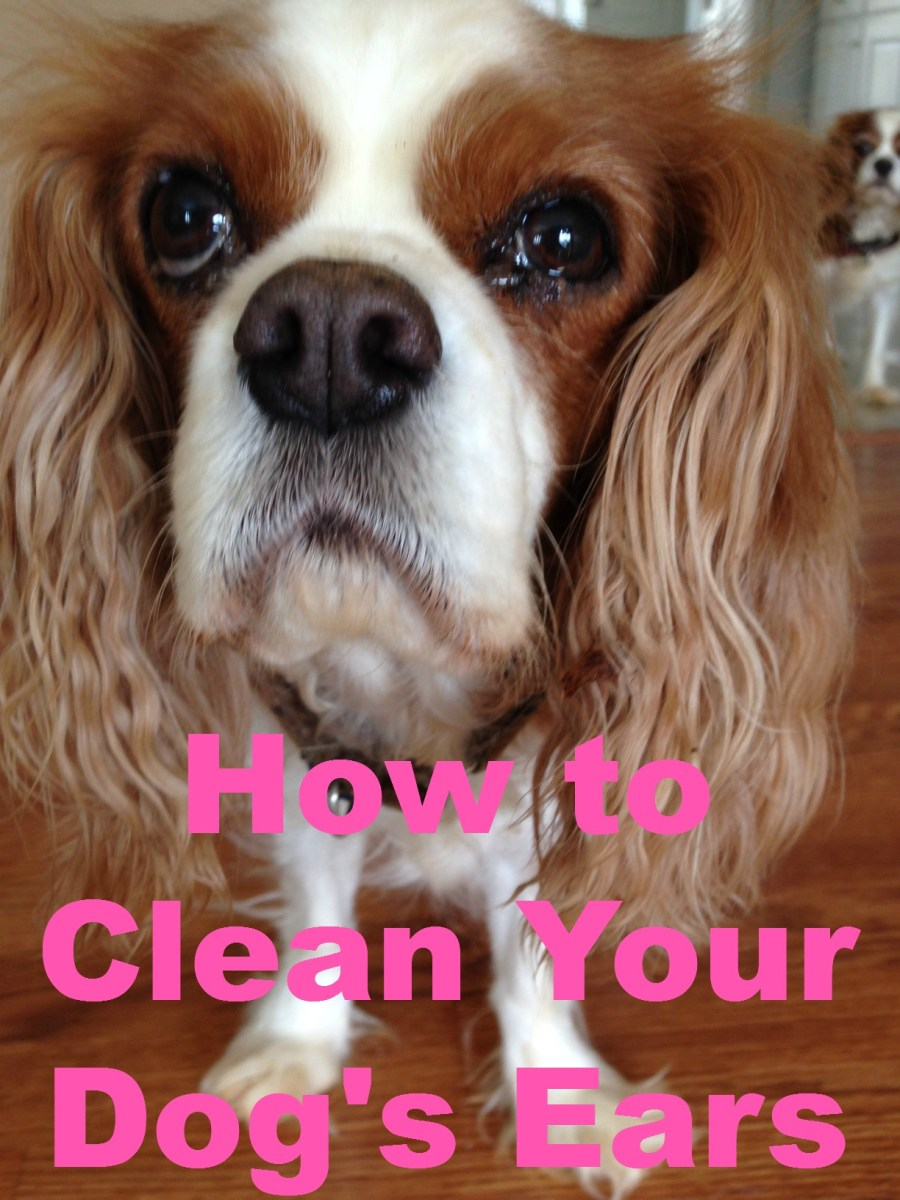 Best Way To Clean A Dogs Ears