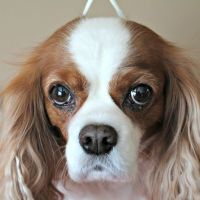 Dog Grooming at Home with #CHIforDogs